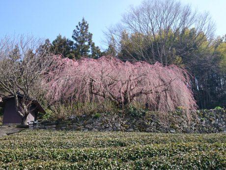 野村のしだれ桜